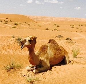 camel-in-desert